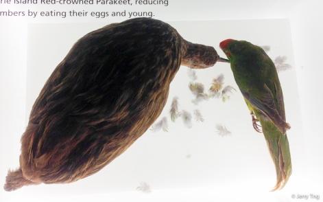 Macquarie Island red-crowned parakeet, Weka.