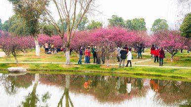 Plum blossoms everywhere