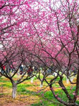 Plum blossoms in the park