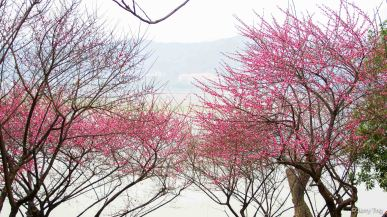 Plum blossoms along the banks